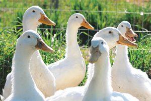 Ducks roaming free