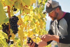 Dave Mutch harvesting grapes